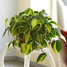 indoor plants that need no light plants no light rendition largest 550 favored philodendron scandens