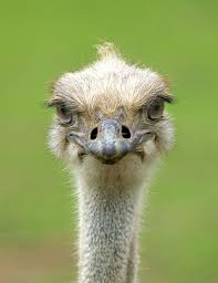 36 best ostrich images on pinterest ostriches animals and baby