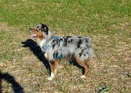 australian shepherd growth chart raising a mini aussie