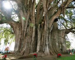 the 20 most gorgeous trees from around the world page 3 of 4