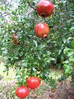 13 best pomegranate images on pomegranates hedges and