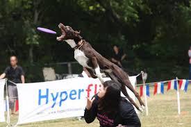 australian shepherd frisbee mcnab shepherd north bay canine rescue u0026 placement