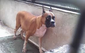 boxer dog in heaven boxer price in india boxer puppy for sale in pune india james ch