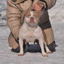 american pitbull terrier wanted ukc registered american pitbull american bully puppies in