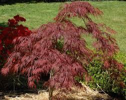 why autumn blaze maple trees are superior to wild ones