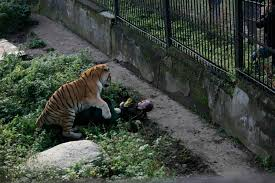 onlookers save zookeeper siberian tiger attack york