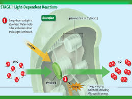What Happens During The Light Dependent Reactions Of Photosynthesis Photosynthesis U0026 Cellular Respiration What Is Photo Synthesis