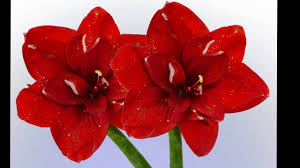 amaryllis flower amaryllis flower meaning history of amaryllis flower beautiful