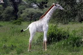 pictures rare white giraffe and other unusually pale animals