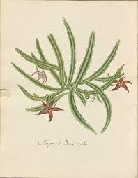 bibliodyssey succulent carrion