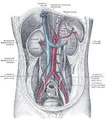 Abdominal Anatomy Quiz Anatomy Abdomen Kidneys Arteries Renal Artery
