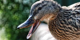 pet duck attack lands owner 275 000 lawsuit huffpost