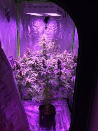 growing autoflower with led lights your best autoflower grow page 2 the autoflower network afn