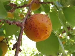 backyard pests of ripening fruit u2013 ipm pest advisories