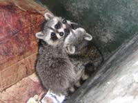 How To Get Rid Of Raccoons In Backyard How To Get Rid Of Raccoons