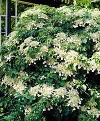 garden climbing hydrangea climbing hydrangea hydrangea vines