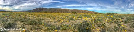 a visit to the anza borrego desert to see the wildflower super bloom