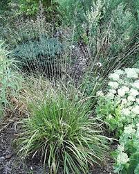 ornamental grasses tagged molinia earthly pursuits inc