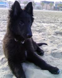 belgian shepherd easy to train 126 best especially belgian breed dogs images on pinterest dog