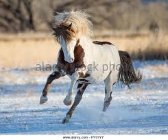 Black Mustang Horse Mustang Horse Running Stock Photos U0026 Mustang Horse Running Stock
