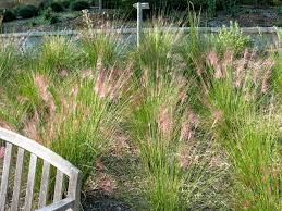 nebraska native plants native grasses images