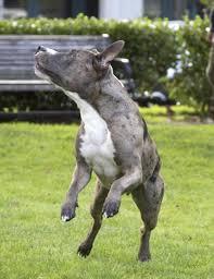 australian shepherd cattle dog shepherd mix with pitbull pit bull and great pyrenees allmuttcom