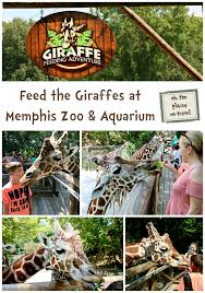 Zoo Lights Memphis Tn by Feed The Giraffes At Memphis Zoo Oh The Places We Travel