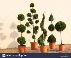 Topiary Cloud Trees - cupressocyparis leylandii castlewellan gold mix as pom pom cloud