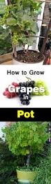 growing grapes in containers how to grow grapes in pots u0026 care