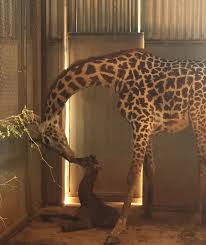 Zoo Lights Phoenix Zoo by Baby Giraffe Born At The Phoenix Zoo Phoenix Zoo