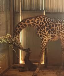 baby giraffe born at the phoenix zoo phoenix zoo