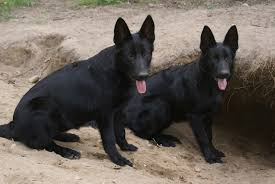 belgian sheepdog puppies for sale solid black german shepherd puppies for sale http