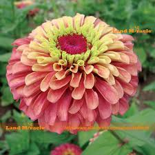 Zinnia Flowers Aliexpress Com Buy Fully Double Queen Red Zinnia Flower Seed 50