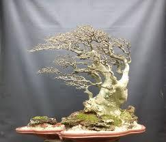 11 best windswept bonsai style images on bonsai trees