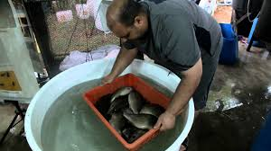 stac aquaculture r u0026d jade perch fish fry hatchery production youtube