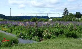 silver lace vine lavender lady hood river lavender farm