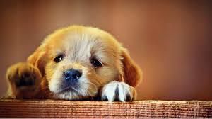 Puppy Face Meme - sad puppy dog face