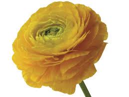 ranunculus flower ranunculus flower meaning symbolism teleflora