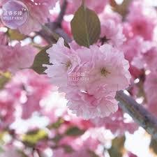 bellfarm japanese pink cherry blossom sakura tree 20 seeds
