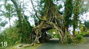25 unique trees in the world that really exist