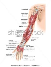 Shoulder And Arm Muscles Anatomy Arm Muscle Anatomy Stock Images Royalty Free Images U0026 Vectors