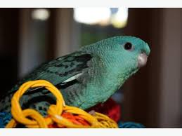 Seeking Companion Seeking Companion For Lineolated Parakeet Saanich
