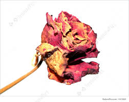 dried roses flowers dried stock picture i1413628 at featurepics