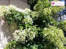 climbing hydrangea hydrangea petiolaris my perfect garden