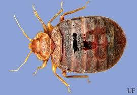 Bed Bug Bed Bug Cimex Lectularius Linnaeus