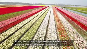tulip fields netherlands youtube