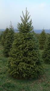 shenandoah christmas trees where to buy in the valley