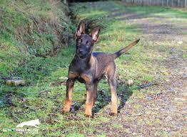 belgian shepherd rescue south africa extremus belgian and dutch shepherd dogs belgian malinois and