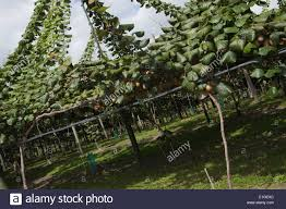 kiwi fruit growing stock photos u0026 kiwi fruit growing stock images