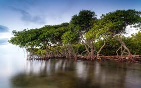Most Amazing by Enviro U0026chic Mangrove Forests The Most Amazing Ecosystems